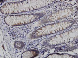 IHC-P - Necdin antibody (ab55501)