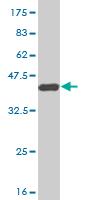 Western blot - Macrophage Scavenger Receptor I antibody (ab55508)