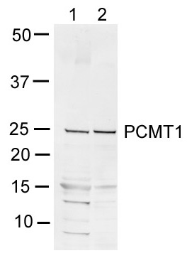Western blot - PCMT1 antibody (ab55510)