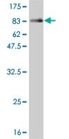 Western blot - NFIA antibody (ab55515)