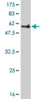 Western blot - PEX10 antibody (ab55607)