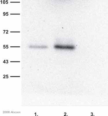 Immunoprecipitation - RAB27A antibody (ab55667)