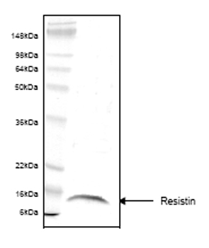 SDS-PAGE - Resistin protein (His tag) (ab55670)