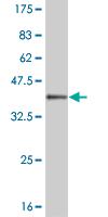 Western blot - MOX1 antibody (ab55719)
