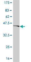 Western blot - NHLH2 antibody (ab55789)