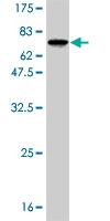 Western blot - RBMS1 antibody (ab55790)