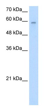 Western blot - ARIH2 antibody (ab55954)