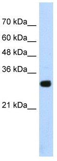 Western blot - SOX15 antibody (ab55960)