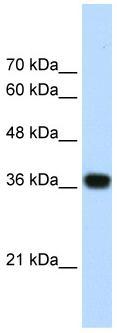 Western blot - PSIP1 antibody (ab55969)