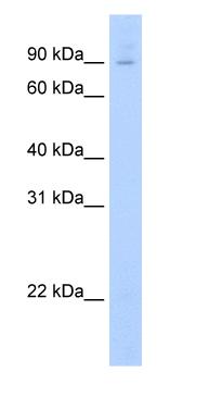 Western blot - E2F7 antibody (ab56022)