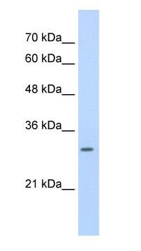 Western blot - SLBP antibody (ab56027)