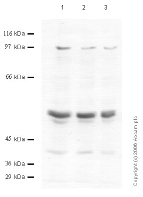 Western blot - Matriptase 2 antibody - Cytoplasmic domain (ab56180)