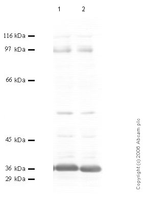 Western blot - Matriptase 2 antibody - Catalytic domain (ab56182)