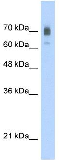 Western blot - KIF22 antibody (ab56235)