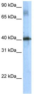 Western blot - TSC22 domain family, member 4  antibody (ab56236)