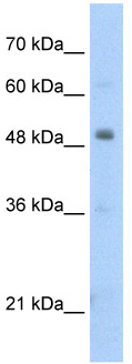 Western blot - Pbx3 antibody (ab56239)