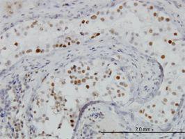 IHC-P - BRD3 antibody (ab56342)
