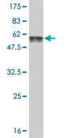 Western blot - FTS antibody (ab56407)