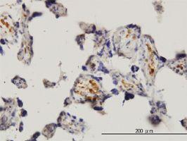 IHC-P - MNK1 antibody (ab56430)