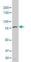 Western blot - TTF2 antibody (ab56451)