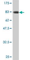 Western blot - CDC45L antibody (ab56476)