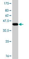 Western blot - Ube4a antibody (ab56483)