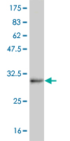 Western blot - MATH5 antibody (ab56536)