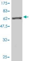 Western blot - BAIAP2 antibody (ab56588)