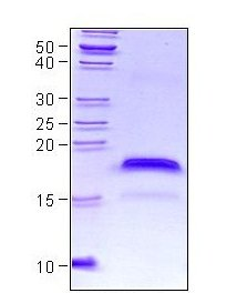 SDS-PAGE - VEGF 165A protein (ab56620)