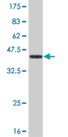 Western blot - p53 BP3 antibody (ab56640)