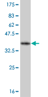 Western blot - Olig2 antibody (ab56643)
