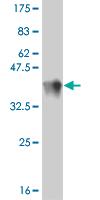 Western blot - TRIM16 antibody (ab56728)