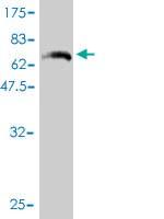 Western blot - TOB2 antibody (ab56760)