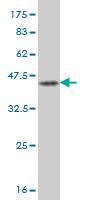 Western blot - JTB antibody (ab56798)