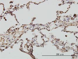 IHC-P - EML2 antibody (ab57018)