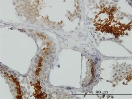 IHC-P - GAPDHS antibody (ab57062)