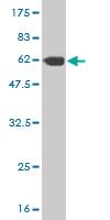 Western blot - BRMS1 antibody (ab57082)