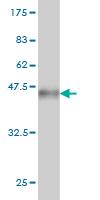 Western blot - HOOK2 antibody (ab57108)