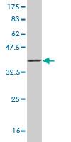 Western blot - HEY1 antibody (ab57120)