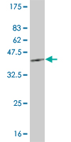 Western blot - HEY1 antibody (ab57121)