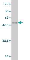 Western blot - EGFL7 antibody (ab57281)