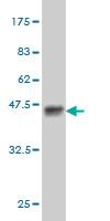 Western blot - PASK antibody (ab57387)