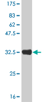 Western blot - HES2 antibody (ab57396)