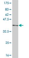 Western blot - DNMBP antibody (ab57403)