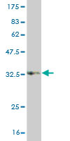 Western blot - PCDHB15 antibody (ab57536)