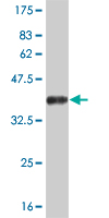 Western blot - Neurogenin 2 antibody (ab57563)