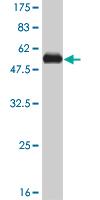 Western blot - RSU1 antibody (ab57668)