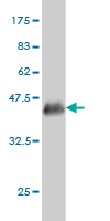 Western blot - BOULE antibody (ab57696)
