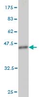 Western blot - C19orf50 antibody (ab57709)