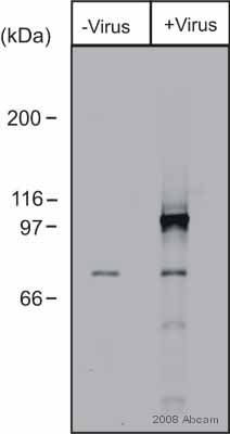 Western blot - LONRF3 antibody (ab57736)